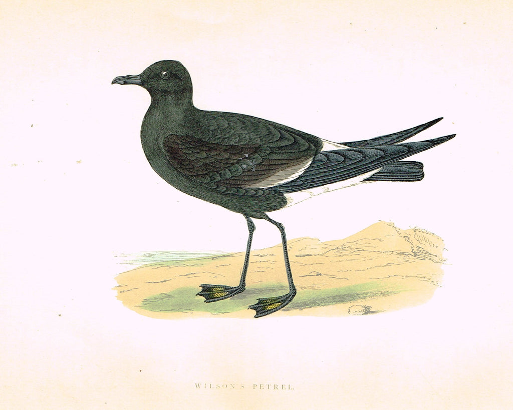 "Morris's Birds - ""WILSON'S PETREL"" - Hand Colored Wood Engraving - 1895"