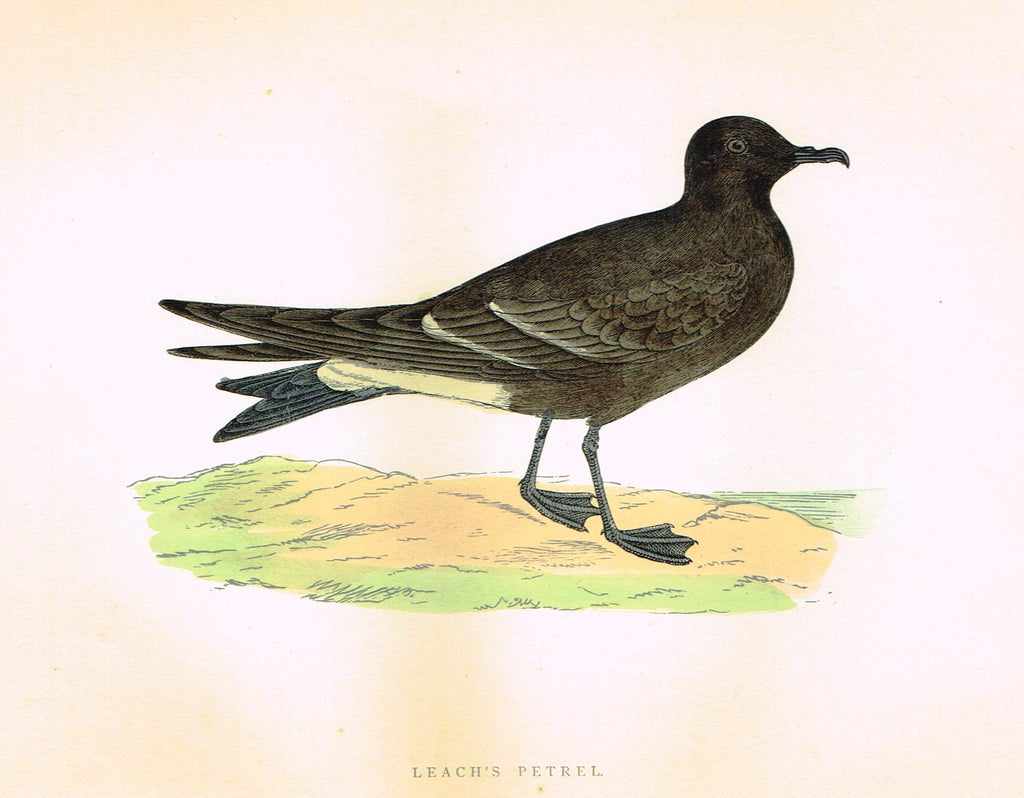 "Morris's Birds - ""LEACH'S PETREL"" - Hand Colored Wood Engraving - 1895"
