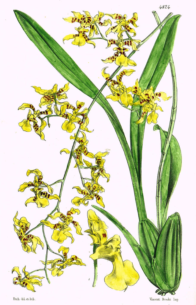 "Curtis's Botanical Magazine - ""YELLOW ORCHID"" - Lithograph - 1846"