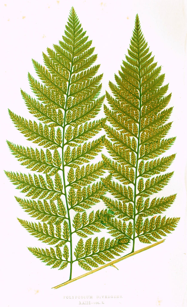 "Lowe's Ferns - ""POLYPODIUM DIVERGENS (XXIII)"" - Chromolithograph - 1856"