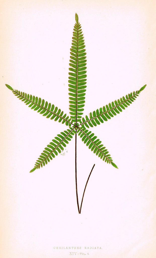 "Lowe's Ferns - ""CHEILANTHES RADIATA (XIV)"" - Chromolithograph - 1856"