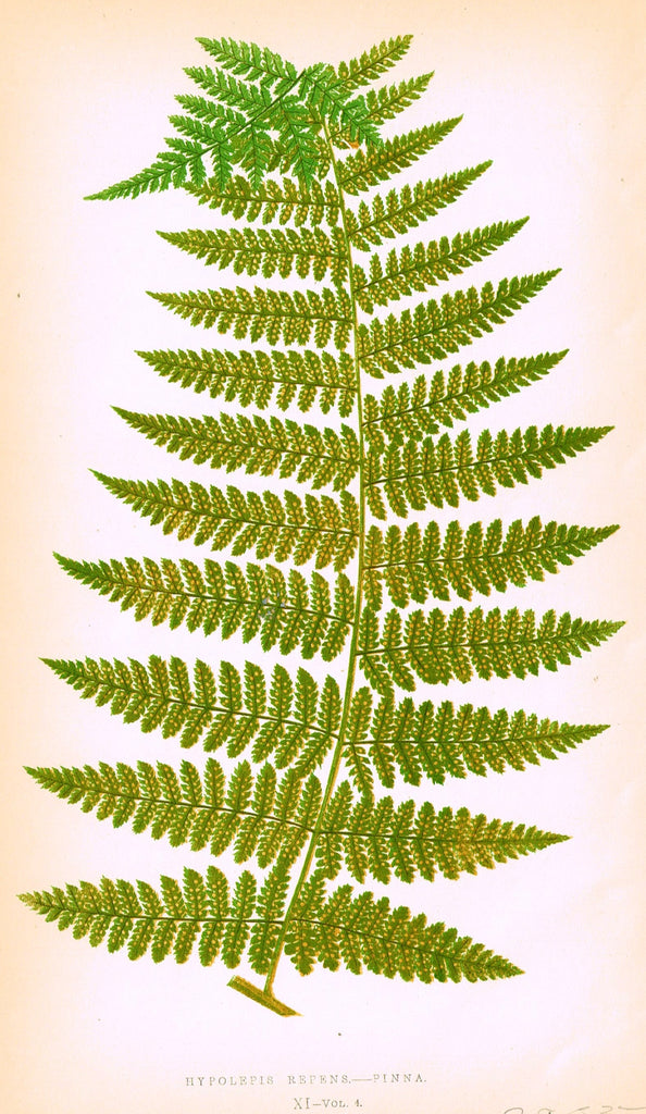 "Lowe's Ferns - ""CHEILANTHES FARINOSA (XIII)"" - Chromolithograph - 1856"