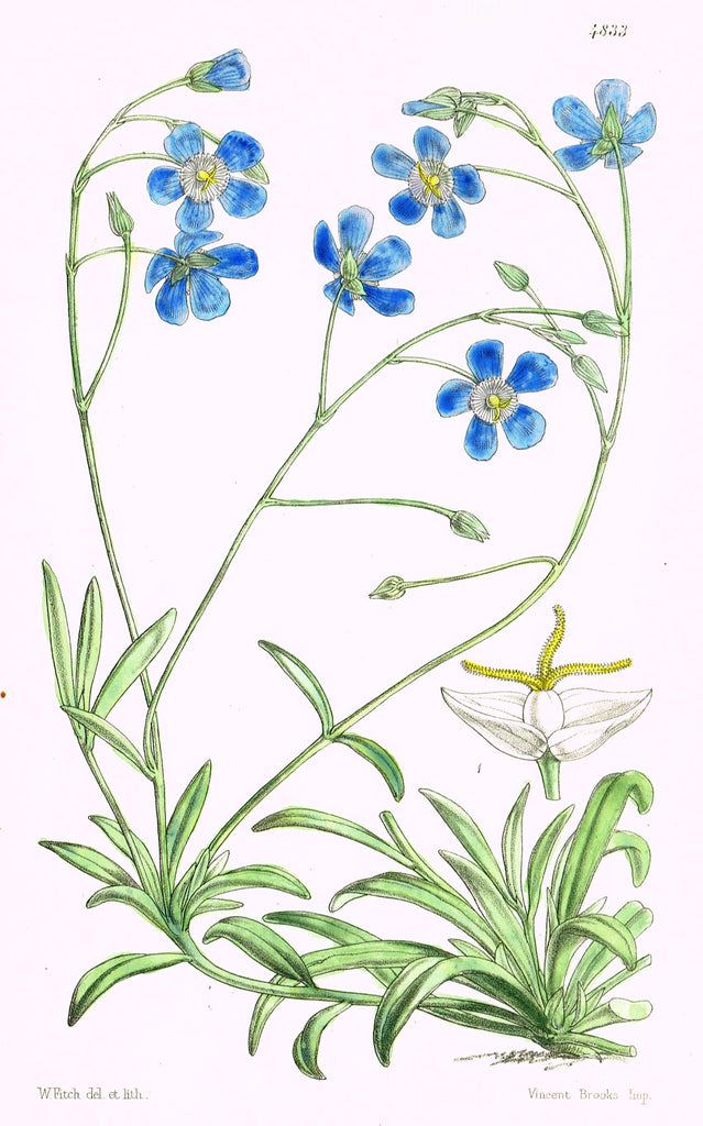"Curtis's Botanical Magazine - ""LITTLE BLUE FLOWERS"" - Lithograph - 1846"