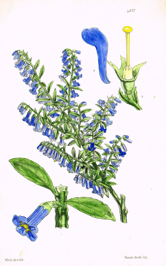 "Curtis's Botanical Magazine - ""BLUE TRUMPET FLOWER"" - Lithograph - 1846"