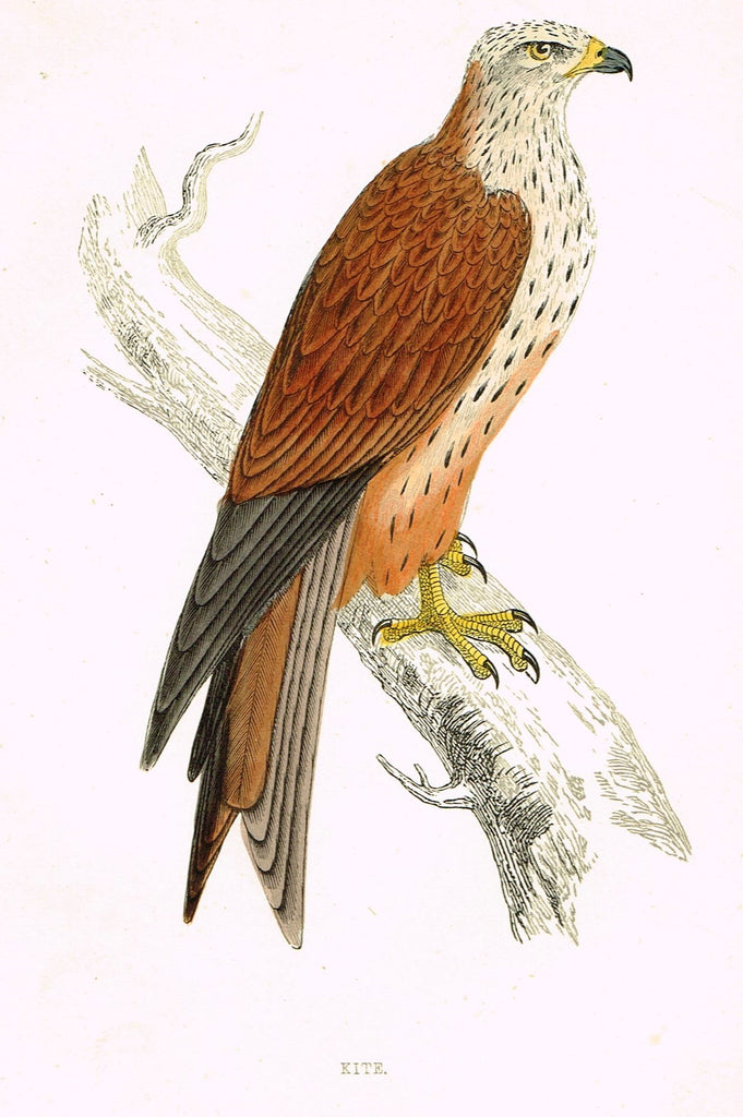 "Rev. Morris's History of British Birds - ""KITE"" - H-Col. Eng. - 1865"