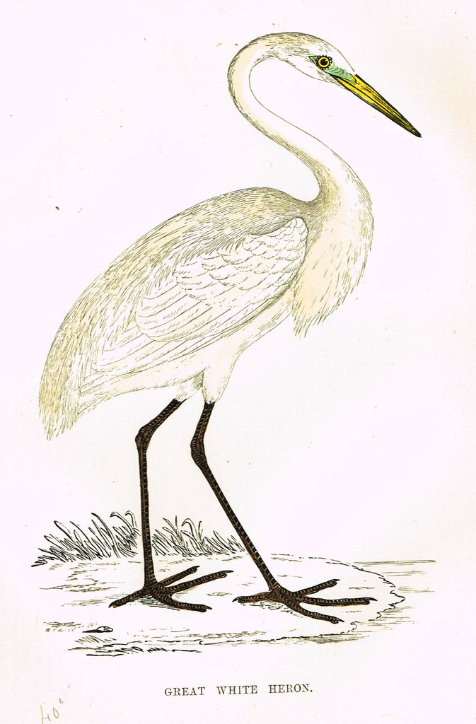 "Rev. Morris's History of British Birds - ""GREAT WHITE HERON"" - H-Col. Eng. - 1865"