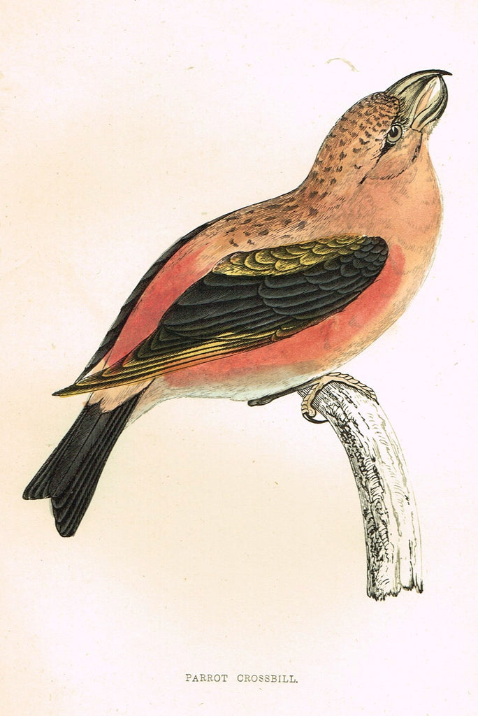 "Rev. Morris's History of British Birds - ""PARROT CROSSBILL"" - H-Col. Eng. - 1865"
