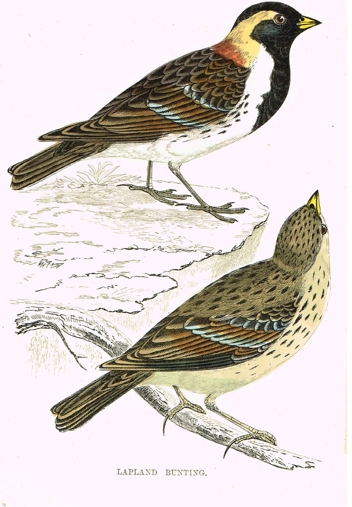 "Rev. Morris's History of British Birds - ""MONTAGU'S HARRIER"" - H-Col. Eng. - 1865"