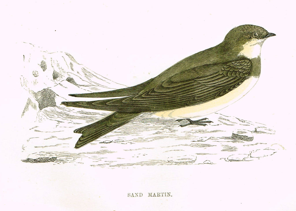 "Rev. Morris's History of British Birds - ""SAND MARTIN"" - H-Col. Eng. - 1865"