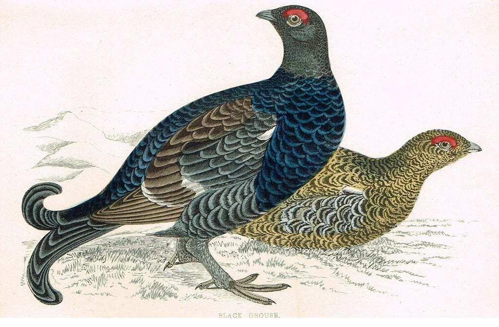 "Rev. Morris's History of British Birds - ""BLACK GROUSE"" - H-Col. Eng. - 1865"