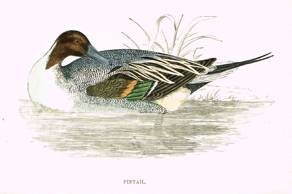 "Rev. Morris's History of British Birds - ""PINTAIL"" - H-Col. Eng. - 1865"