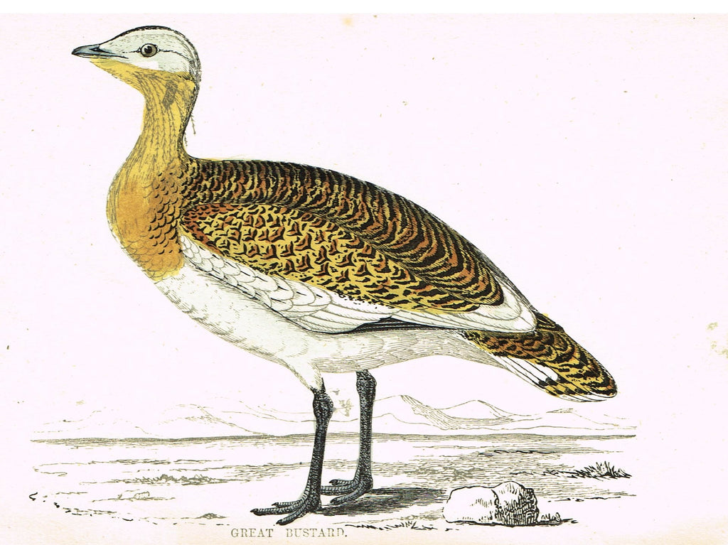 "Rev. Morris's History of British Birds - ""GREAT BUSTARD"" - H-Col. Eng. - 1865"