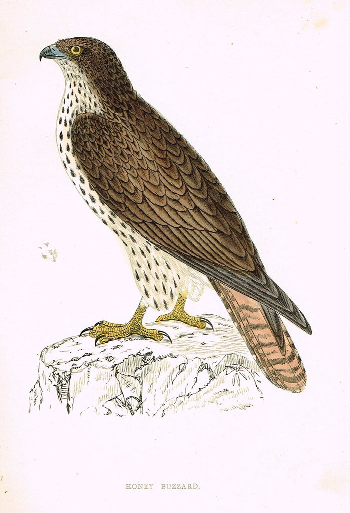 "Rev. Morris's History of British Birds - ""HONEY BUZZARD"" - H-Col. Eng. - 1865"