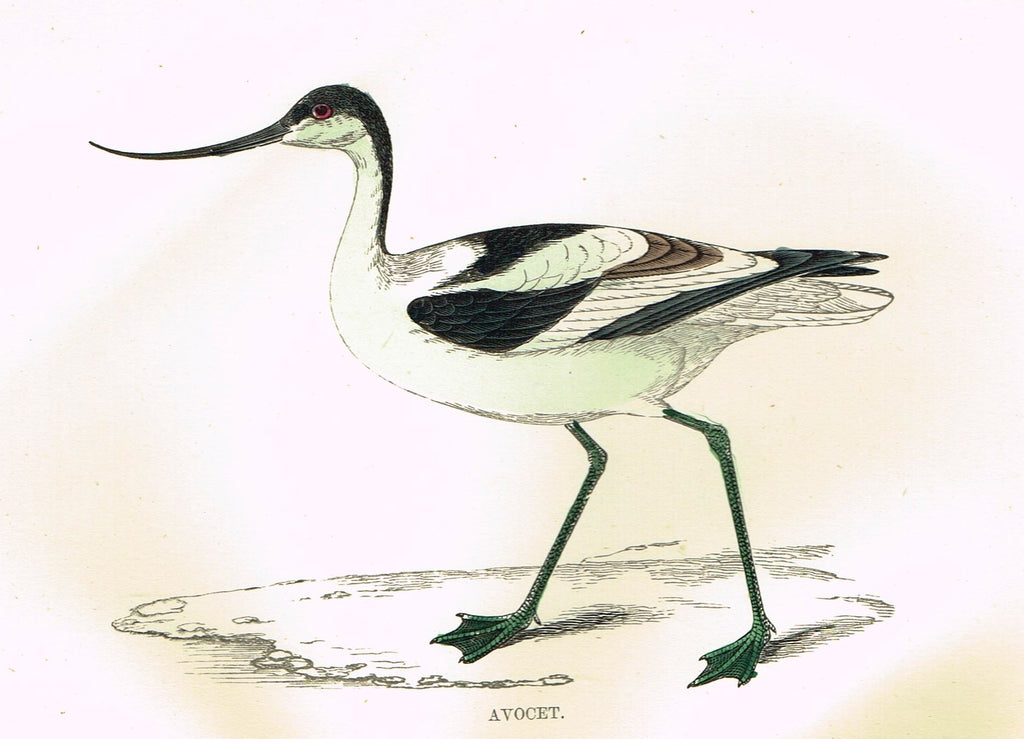 "Rev. Morris's History of British Birds - ""AVOCET"" - H-Col. Eng. - 1865"