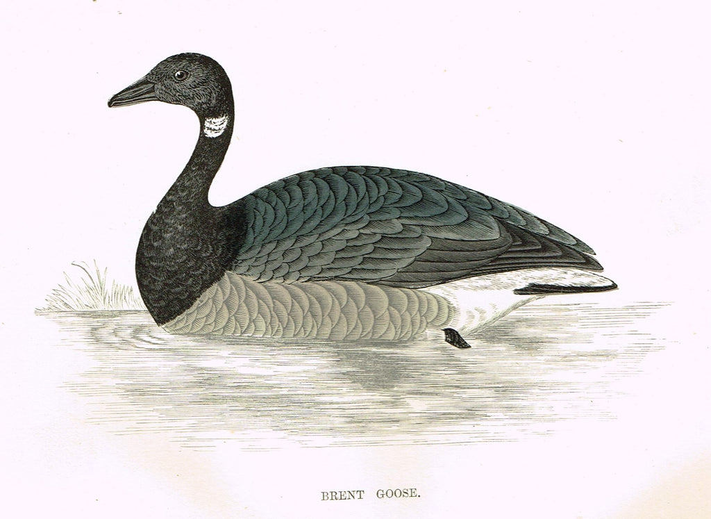 "Rev. Morris's History of British Birds - ""BRENT GOOSE"" - H-Col. Eng. - 1865"