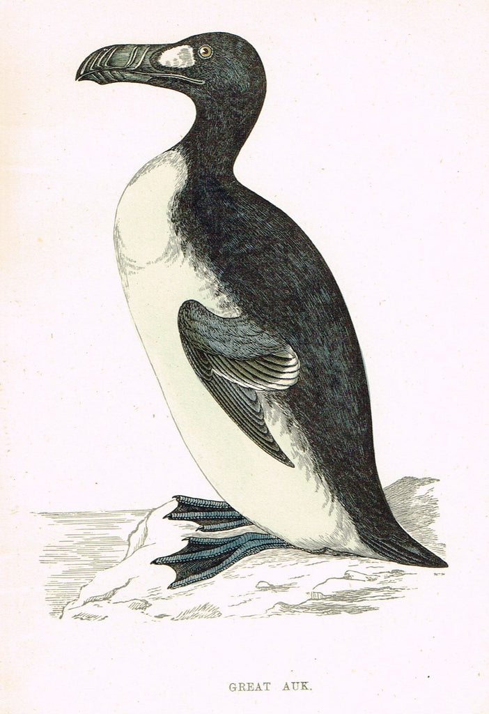 "Rev. Morris's History of British Birds - ""GREAT AUK"" - H-Col. Eng. - 1865"