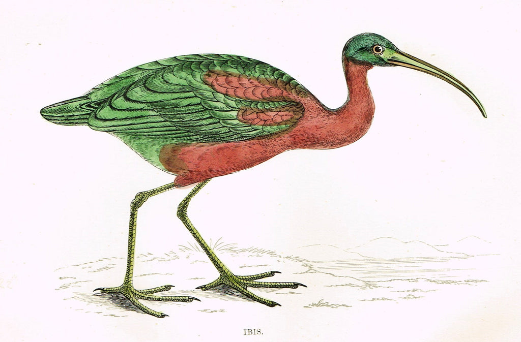 "Rev. Morris's History of British Birds - ""IBIS"" - H-Col. Eng. - 1865"