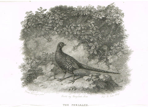 "Ackermann's Sporting Magazine - Birds & Hunting - ""THE PHEASANT"" - Steel Engraving - c1838 - Sandtique-Rare-Prints and Maps"