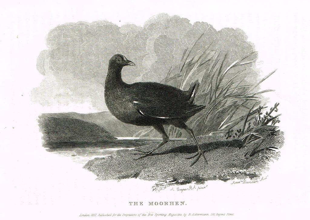 "Ackermann's Sporting Magazine - Birds & Hunting - ""THE MOORHEN"" - Steel Engraving - c1838 - Sandtique-Rare-Prints and Maps"