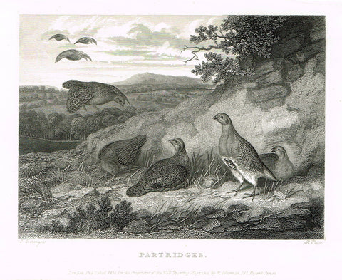 "Ackermann's Sporting Magazine - Birds & Hunting - ""PARTRIDGES"" - Steel Engraving - c1838 - Sandtique-Rare-Prints and Maps"