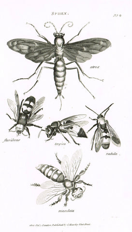 "Shaw's General Zoology - (Insects) - ""FOUR WASPS (SPHEX)"" - Copper Engraving - 1805"