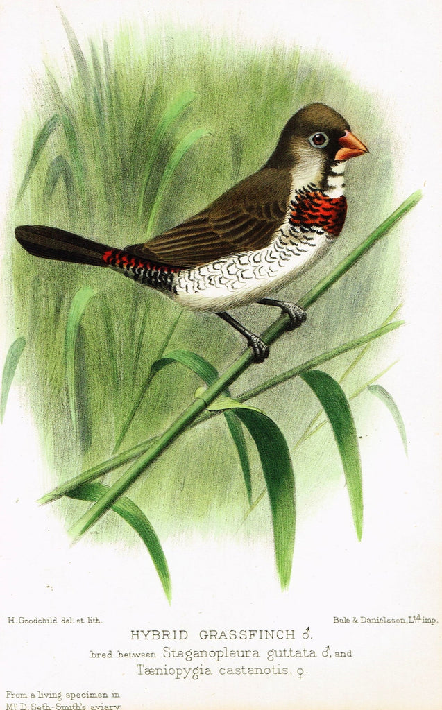 "Seth-Smith's Avicultural Magazine - Birds - ""HYBRID GRASSFINCH"" - Chromolithograph - 1906"