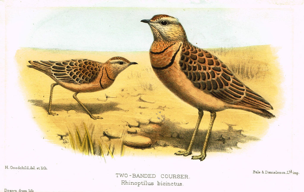 "Seth-Smith's Avicultural Magazine - Birds - ""TWO-BANDED COURSER"" - Chromolithograph - 1906"