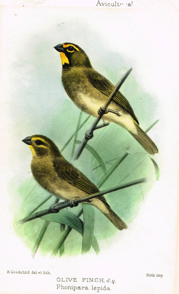 "Seth-Smith's Avicultural Magazine - Birds - ""OLIVE FINCH"" - Chromolithograph - 1906"