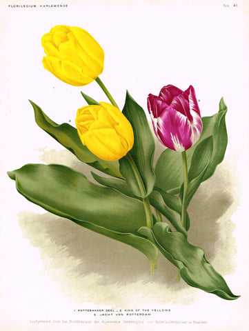 "Goosens's ""KING OF THE YELLOWS"" - TULIPS - Chromolithograph - 1901"