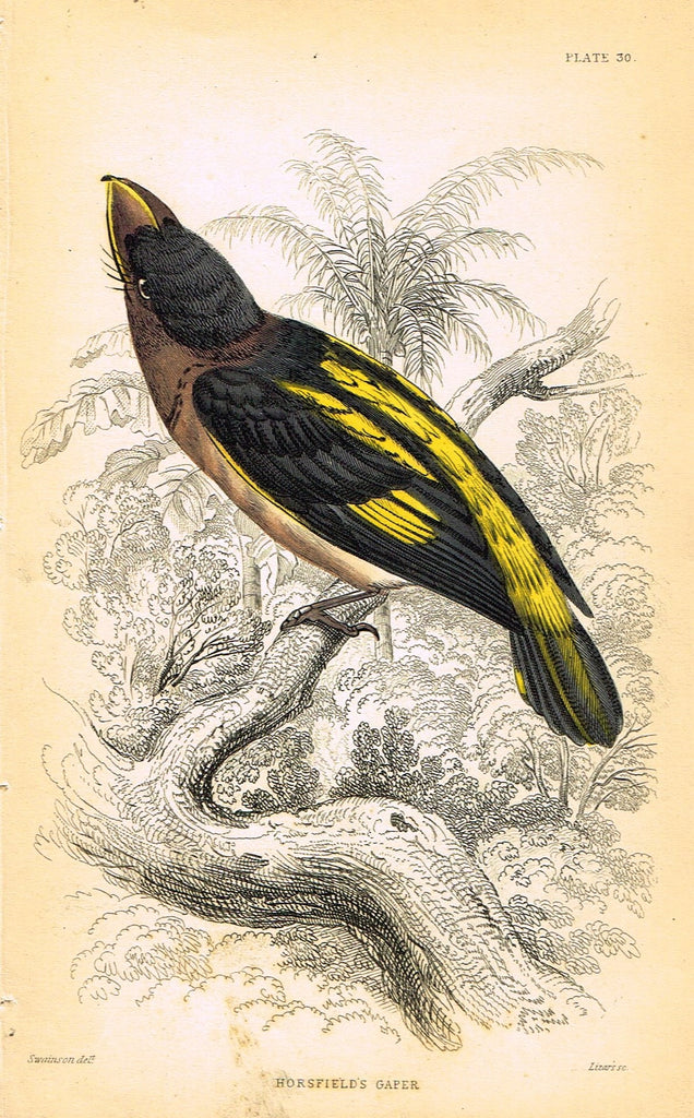 "Jardine's Birds - ""HORSFIELD'S GAPER"" - Hand-Colored Engraving - 1833"