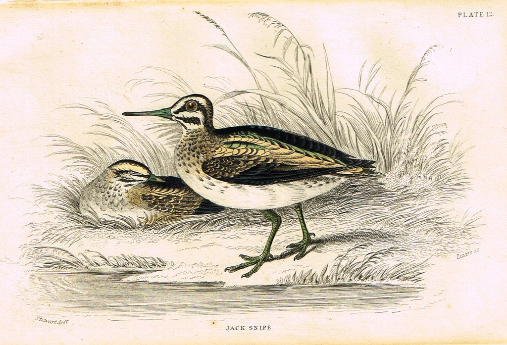 "Jardine's Birds - ""JACK SNIPE"" - Hand-Colored Engraving - 1833"
