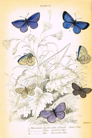 "Jardine Butterfly Print - ""POLYOMMATUS ARGIOLUS"" - Hand-Colored Engraving - 1833"