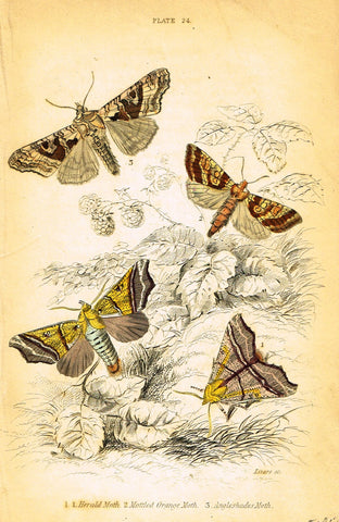 "Jardine Butterfly Print - ""HERALD MOTH"" - Hand-Colored Engraving - 1833"