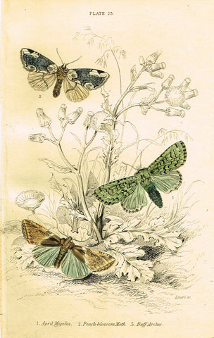 "Jardine Butterfly Print - ""APRIL MISELIA"" - Hand-Colored Engraving - 1833"