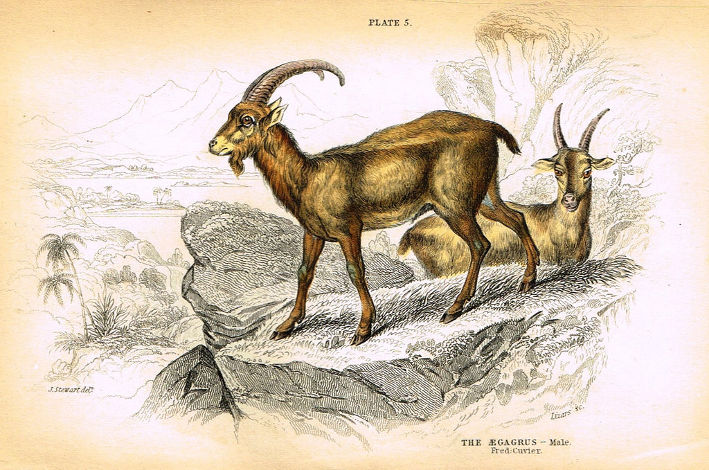 "Jardine's Animals - ""AEGAGRUS""  - Hand-Colored Engraving - 1833"