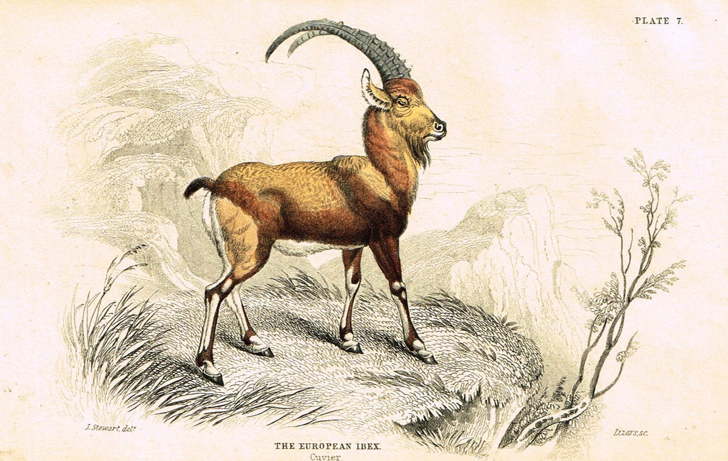 "Jardine's Animals - ""EUROPEAN IBEX""  - Hand-Colored Engraving - 1833"