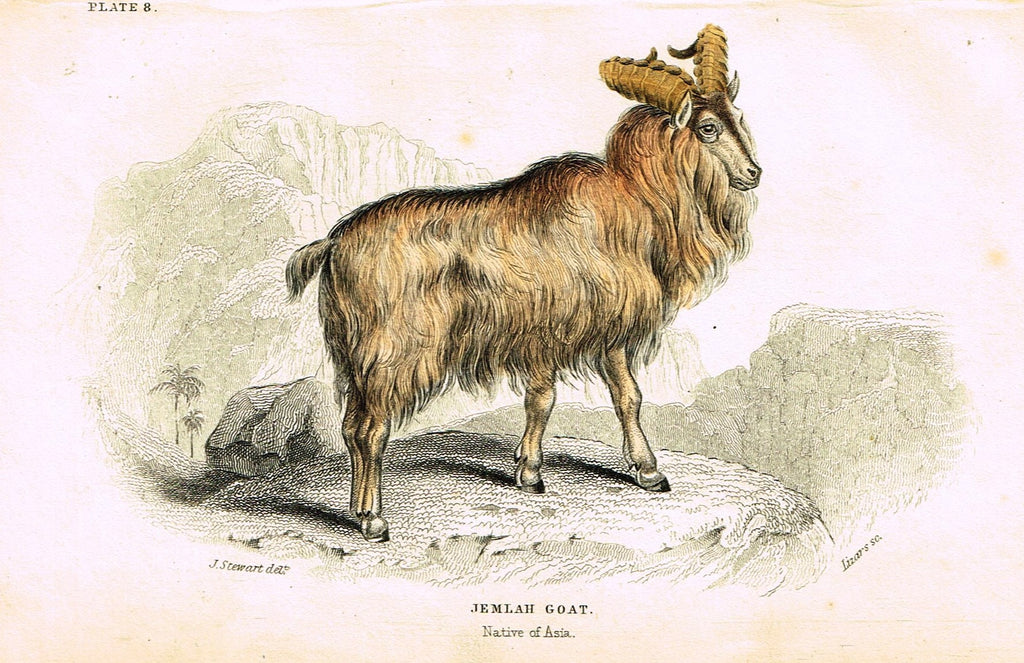"Jardine's Animals - ""JEMLAH GOAT""  - Hand-Colored Engraving - 1833"