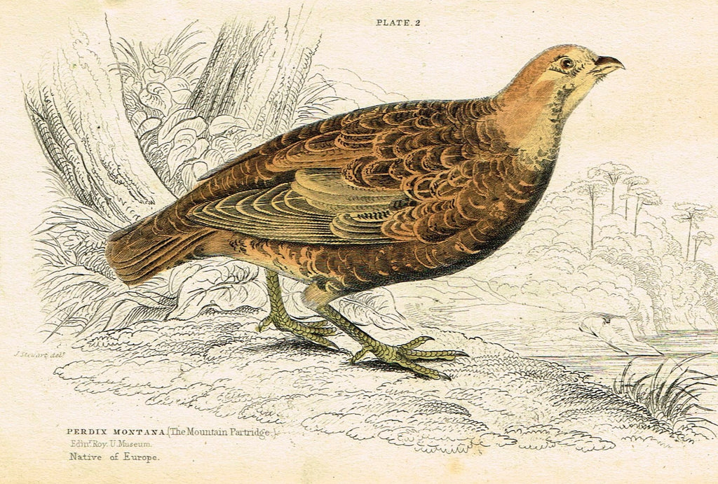"Jardine's Birds - ""THE MOUNTAIN PARTRIDGE"" - Hand-Colored Engraving - 1833"