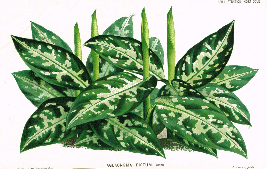 "Linden's L'Illustration Horticole - ""AGLAONEMA PICTUM"" - Chromolithograph - 1882"