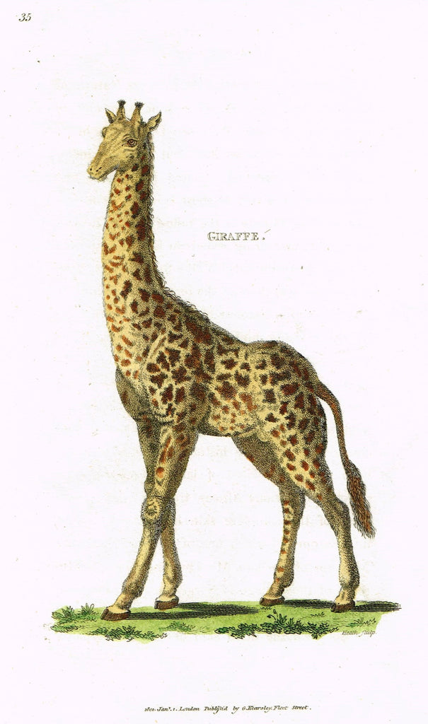 "Shaw's General Zoology - ""GIRAFFE"" - Copper Engraving - 1800"