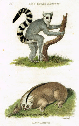"Shaw's General Zoology - ""RING-TAILED MACAUCO & SLOW LEMUR"" - Copper Engraving - 1800"