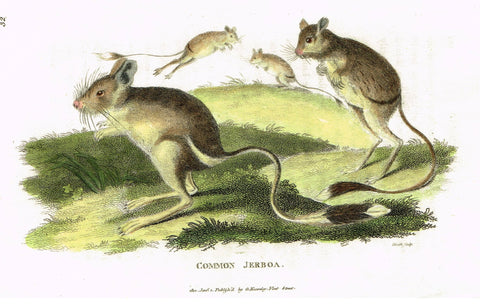 "Shaw's General Zoology - ""COMMON JERBOA"" - Copper Engraving - 1800"