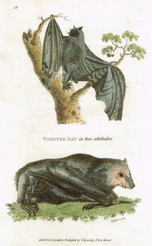 "Shaw's General Zoology - ""VAMPIRE BAT"" - Copper Engraving - 1800"