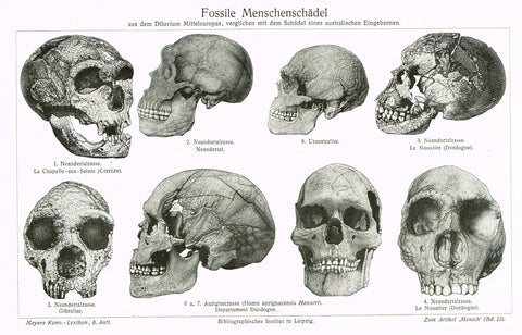 "Meyers Lexicon - ""FOSSILE MENSCHENSCHADEL - SCULLS (MEDICAL)"" - Lithograph - 1913"