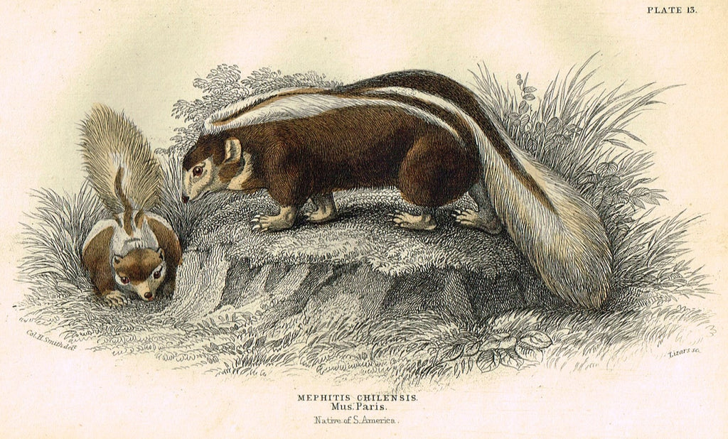 "Jardine's Animals - ""MEPHITIS CHILENSIS"" - Hand-Colored Engraving - 1833"