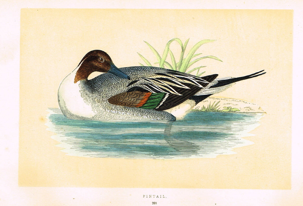 "Morris's Birds - ""PINTAIL"" - Hand Colored Wood Engraving - 1895"
