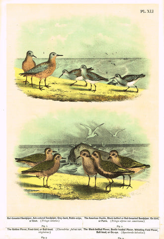 "Antique Bird Print - Studer - ""RED-BRESTED SANDPIPER & AMERICAN DUNLIN"" - Chromolithograph - 1878"