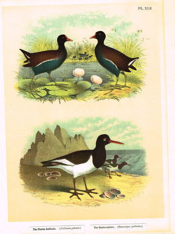 "Antique Bird Print - Studer - ""THE FLORIDA GALLINULE & THE OYSTER-CATCHER"" - Chromolithograph - 1878"