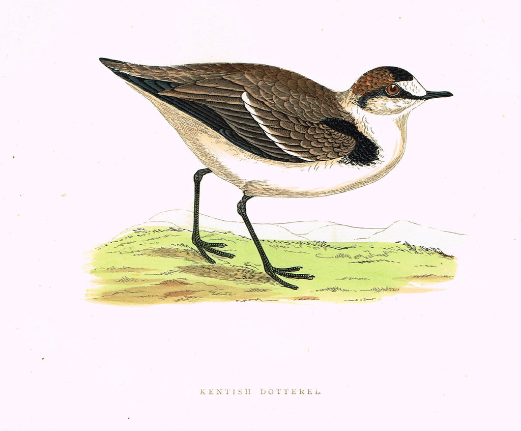"Morris's Birds - ""KENTISH DOTTERAL"" - Hand Colored Wood Engraving - 1895"