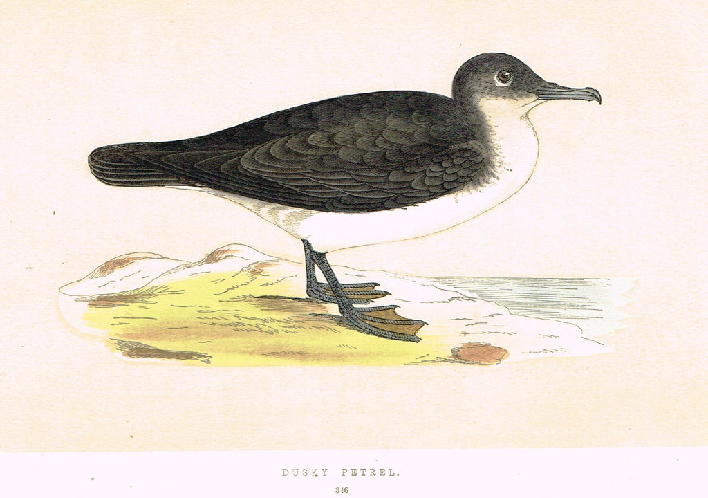 "Morris's Birds - ""DUSKY PETREL"" - Hand Colored Wood Engraving - 1895"